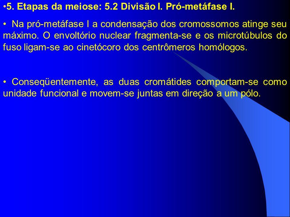 5. Etapas da meiose: 5.2 Divisão I. Pró-metáfase I.