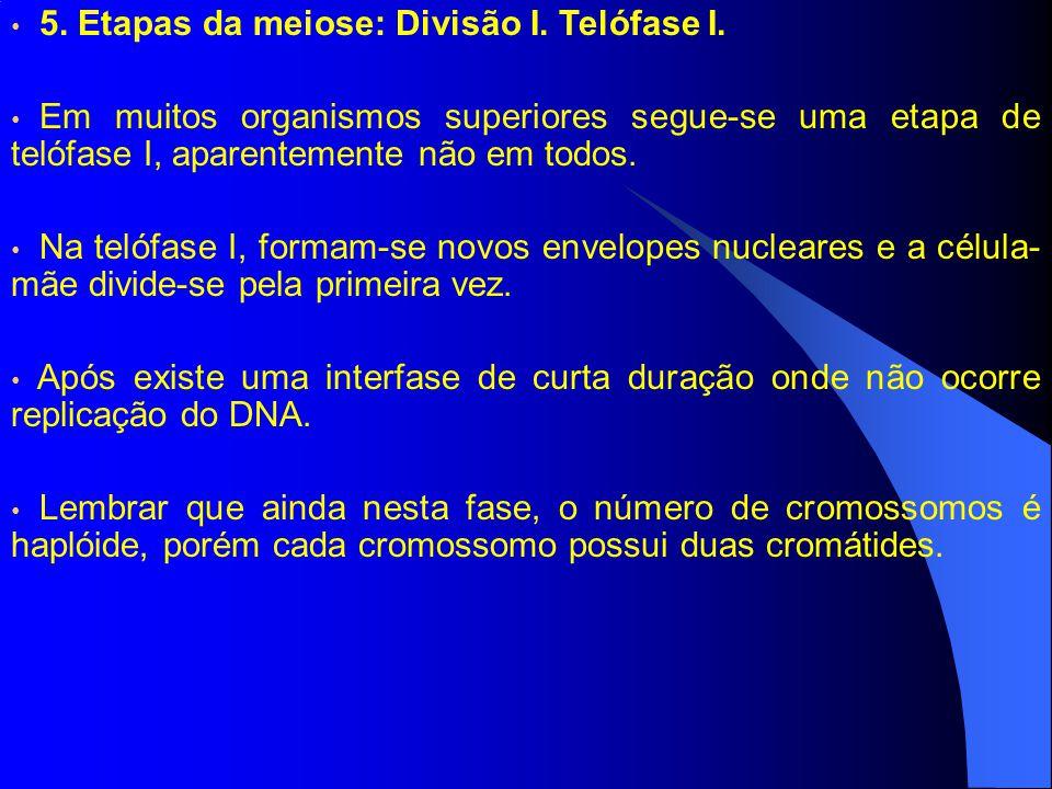 5. Etapas da meiose: Divisão I. Telófase I.