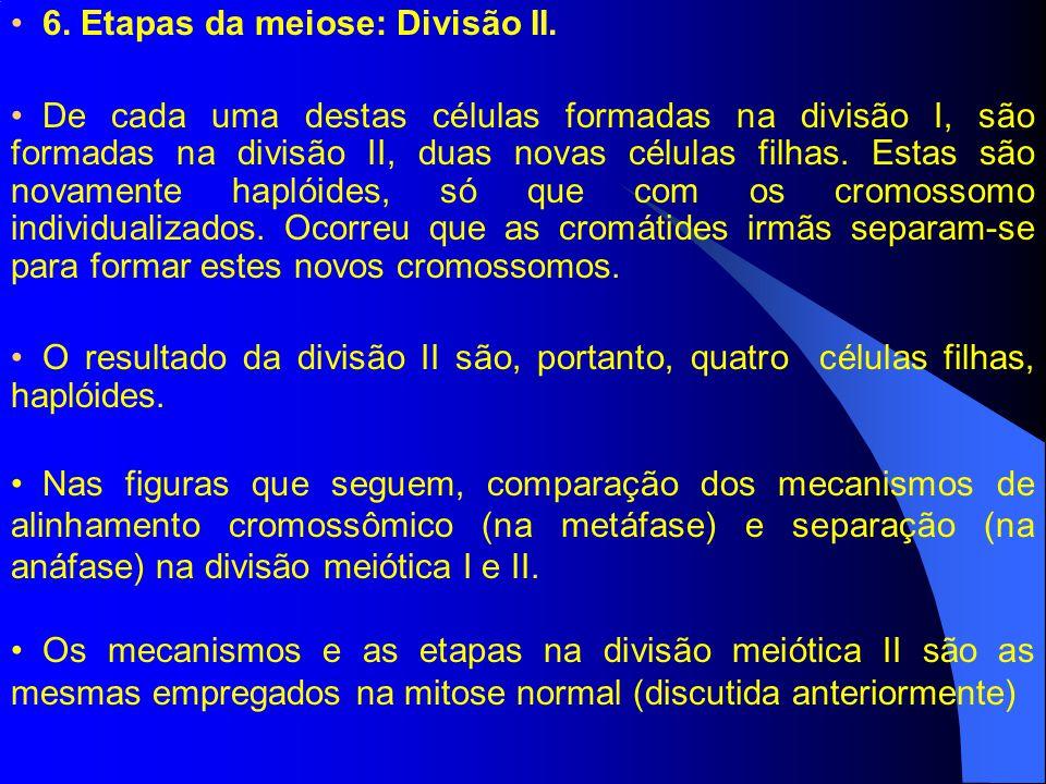 6. Etapas da meiose: Divisão II.