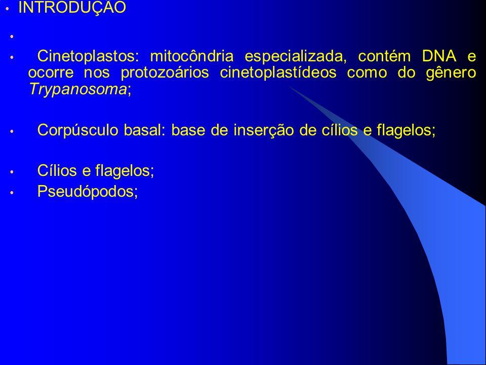 INTRODUÇÃO Cinetoplastos: mitocôndria especializada, contém DNA e ocorre nos protozoários cinetoplastídeos como do gênero Trypanosoma;