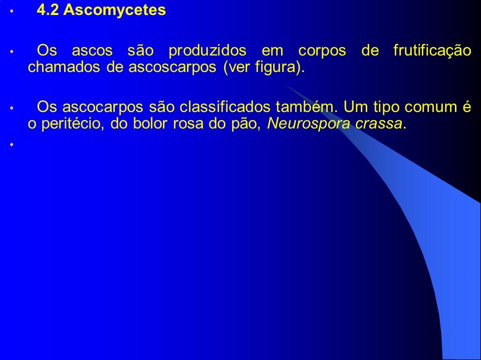 4.2 Ascomycetes Os ascos são produzidos em corpos de frutificação chamados de ascoscarpos (ver figura).