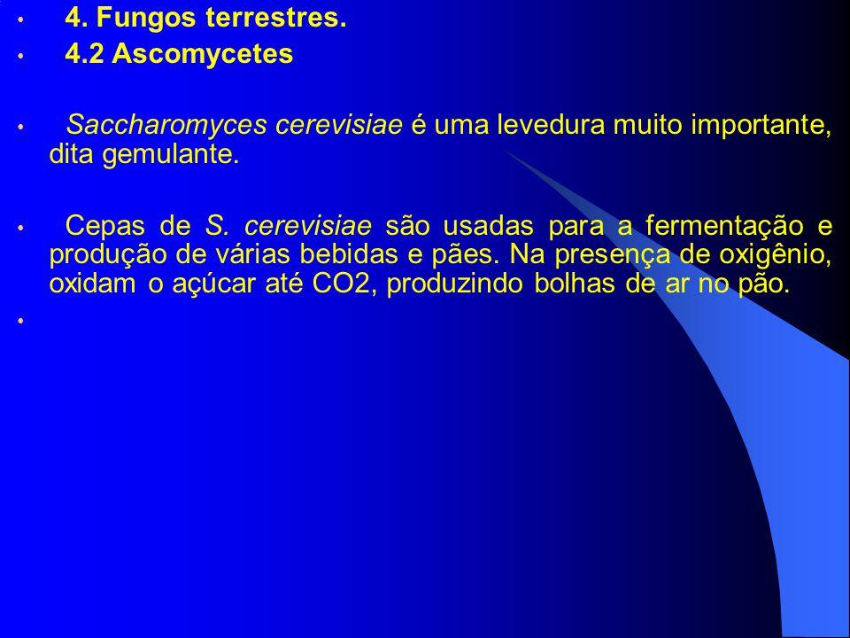 4. Fungos terrestres. 4.2 Ascomycetes. Saccharomyces cerevisiae é uma levedura muito importante, dita gemulante.