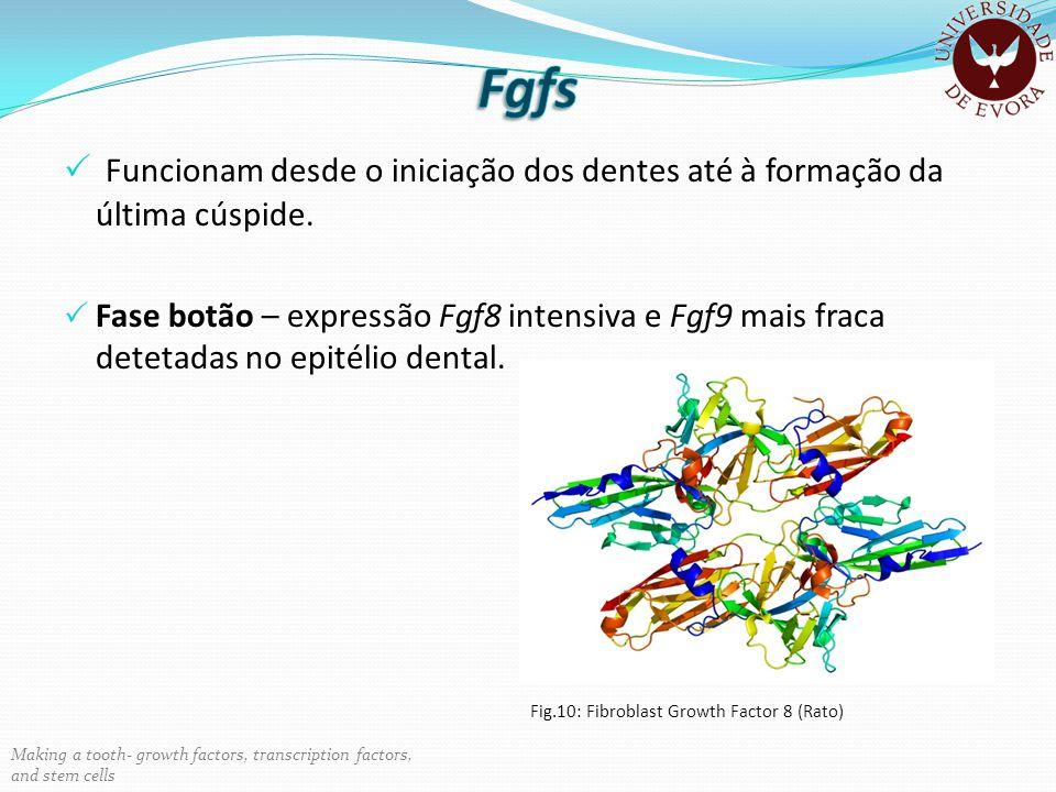 Fgfs Funcionam desde o iniciação dos dentes até à formação da última cúspide.