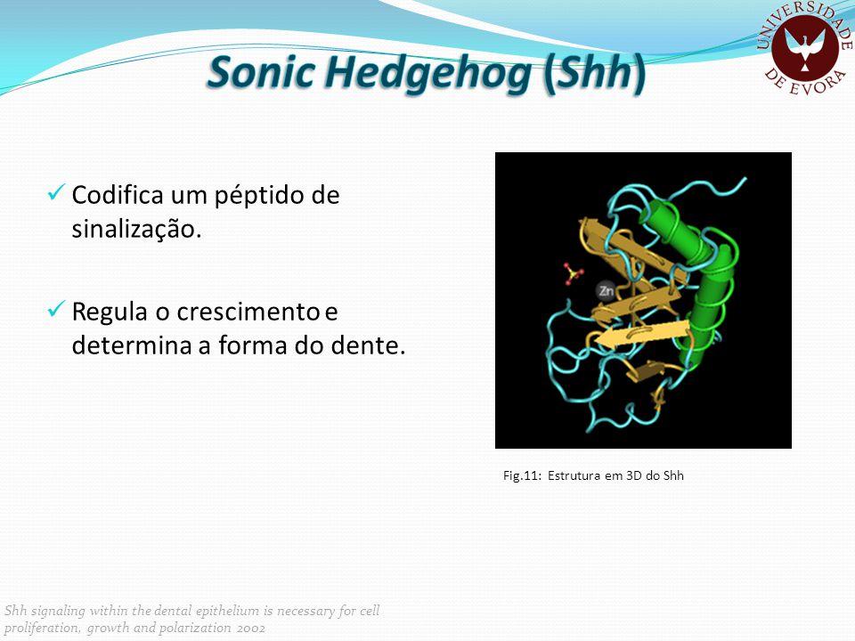 Sonic Hedgehog (Shh) Codifica um péptido de sinalização.