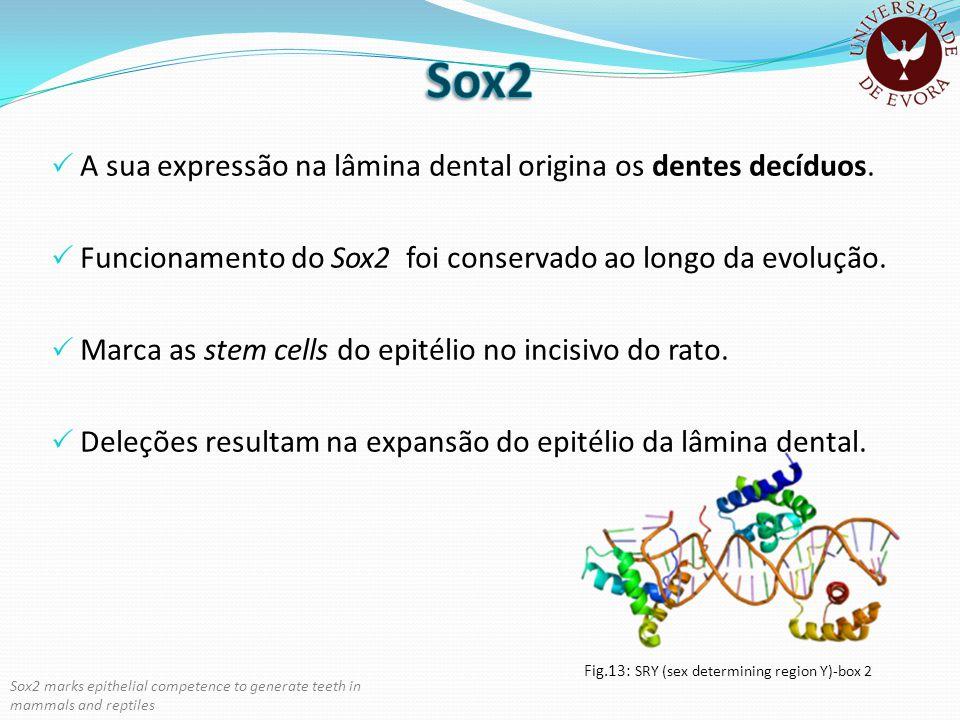 Sox2 A sua expressão na lâmina dental origina os dentes decíduos.