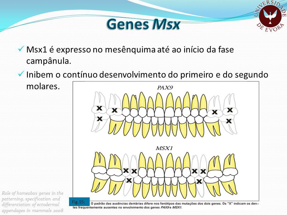 Genes Msx Msx1 é expresso no mesênquima até ao início da fase campânula. Inibem o contínuo desenvolvimento do primeiro e do segundo molares.