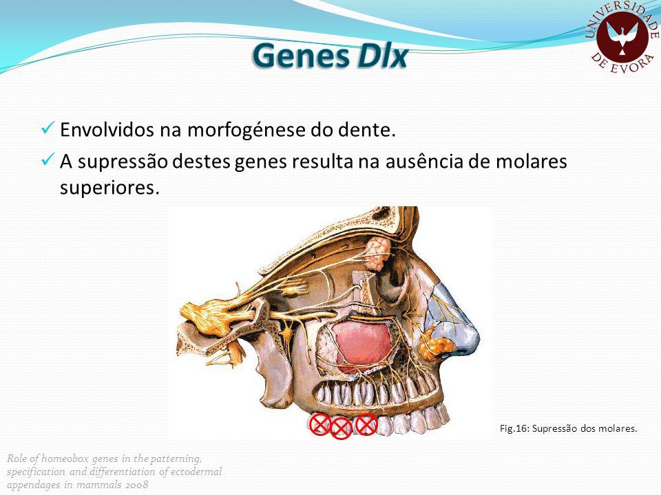 Genes Dlx Envolvidos na morfogénese do dente.