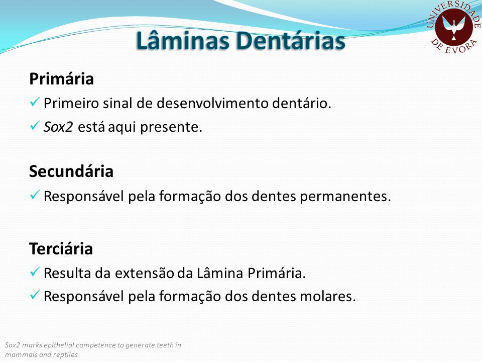 Lâminas Dentárias Primária Secundária Terciária