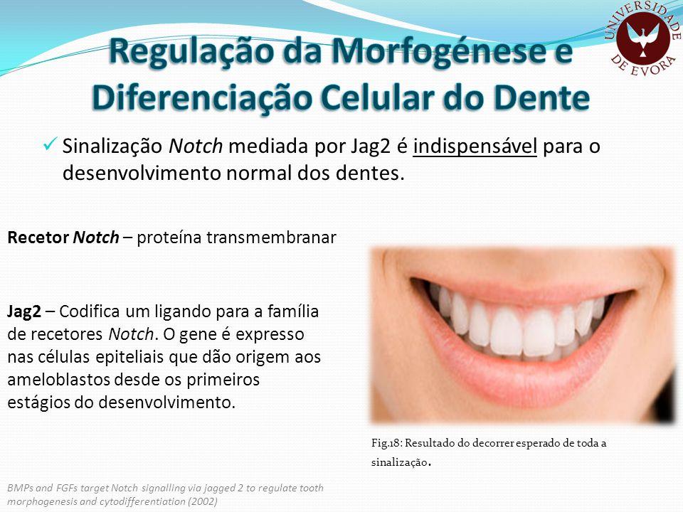 Regulação da Morfogénese e Diferenciação Celular do Dente