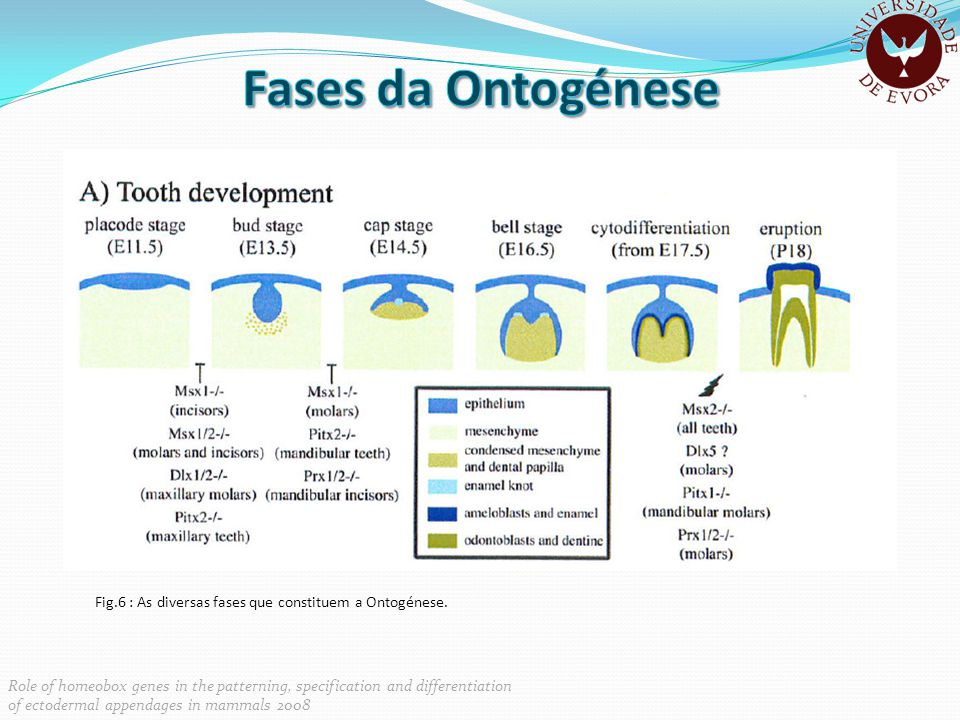 Fases da Ontogénese Fase Bud