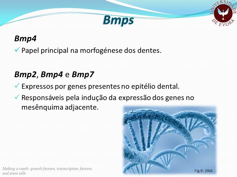 Bmps Bmp4 Bmp2, Bmp4 e Bmp7 Papel principal na morfogénese dos dentes.