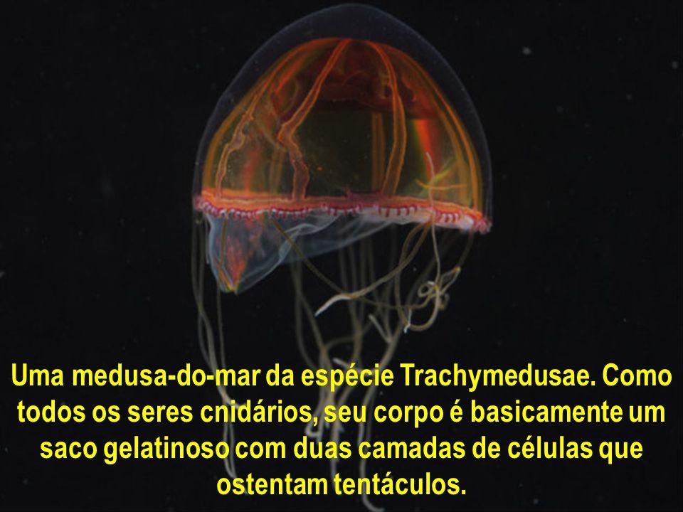 Uma medusa-do-mar da espécie Trachymedusae