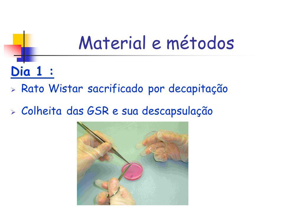 Material e métodos Dia 1 : Rato Wistar sacrificado por decapitação