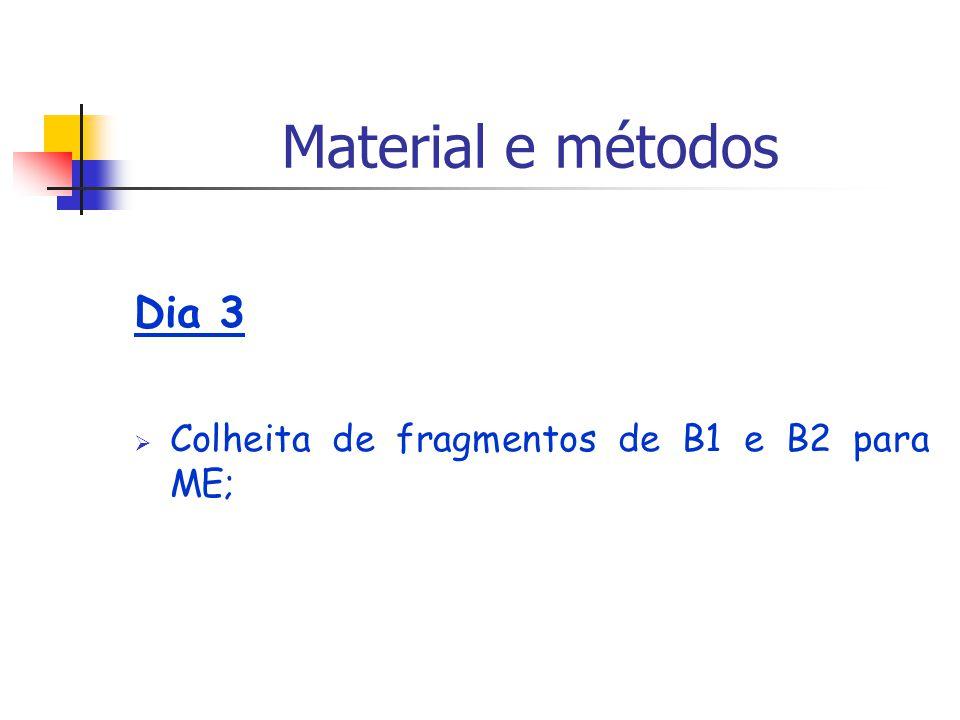 Material e métodos Dia 3 Colheita de fragmentos de B1 e B2 para ME;