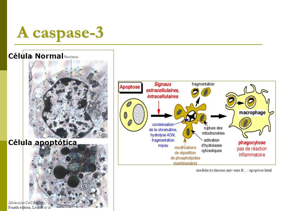 A caspase-3 Célula Normal Célula apoptótica