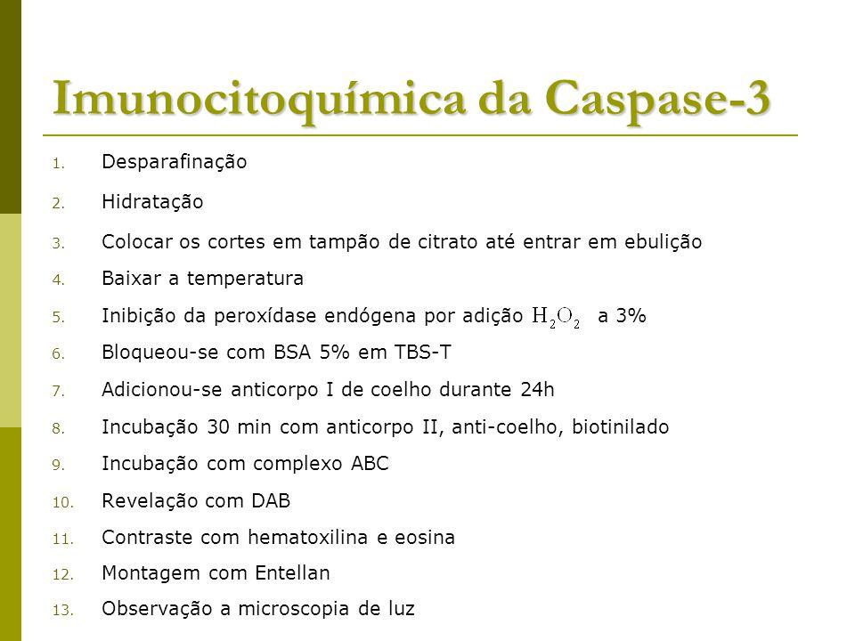 Imunocitoquímica da Caspase-3