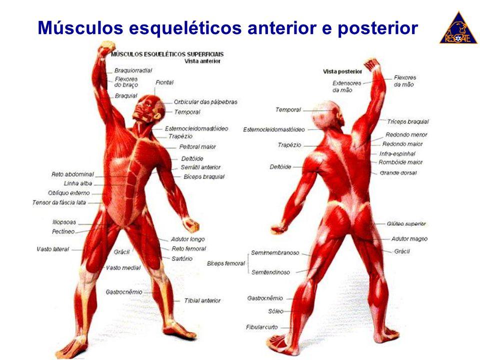 Músculos esqueléticos anterior e posterior