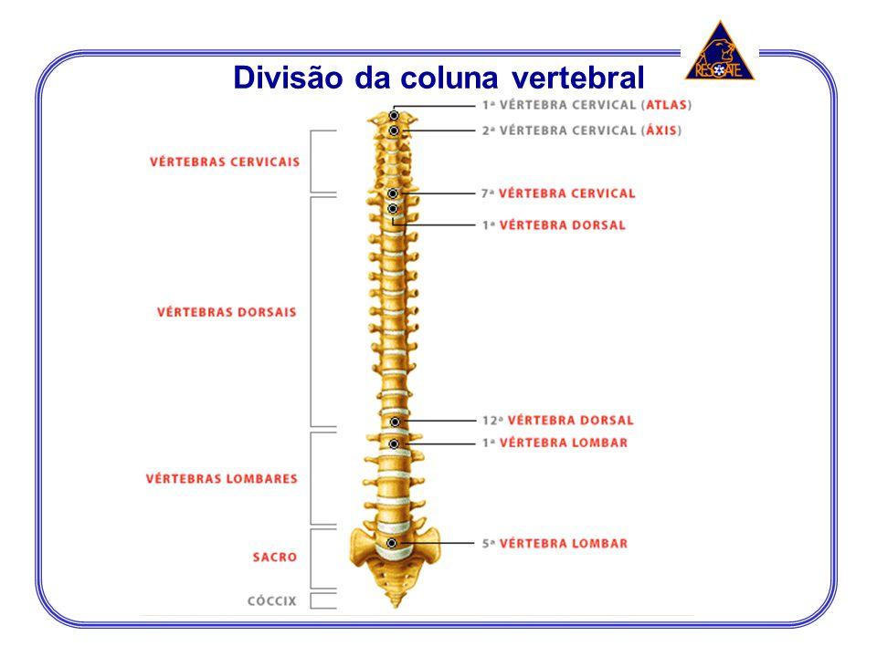 Divisão da coluna vertebral