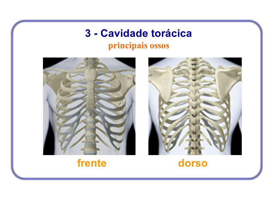 3 - Cavidade torácica principais ossos frente dorso