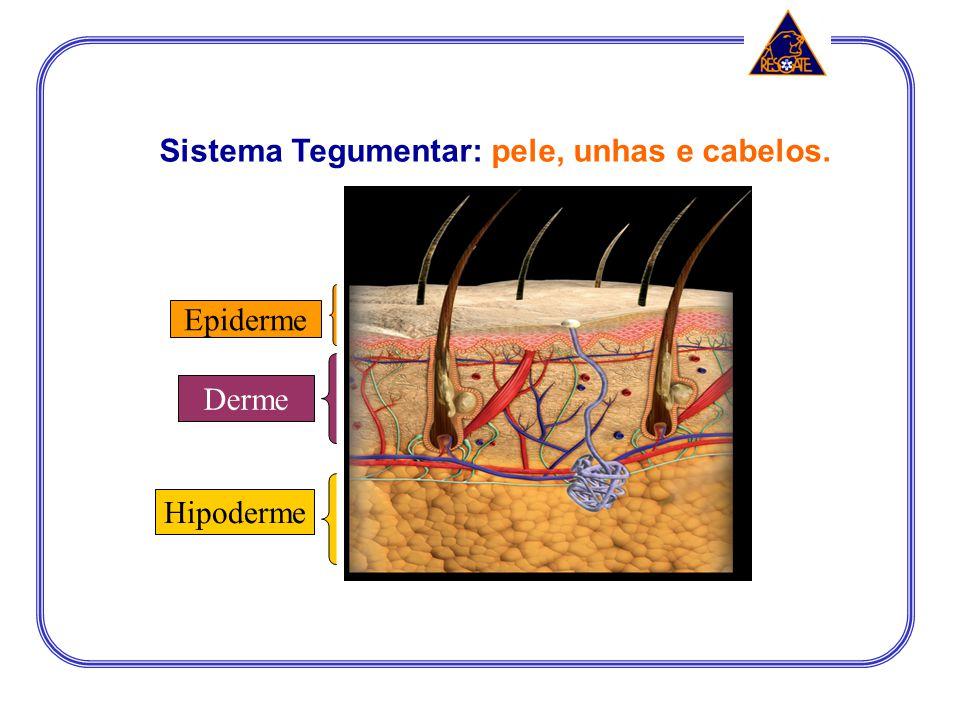 Sistema Tegumentar: pele, unhas e cabelos.