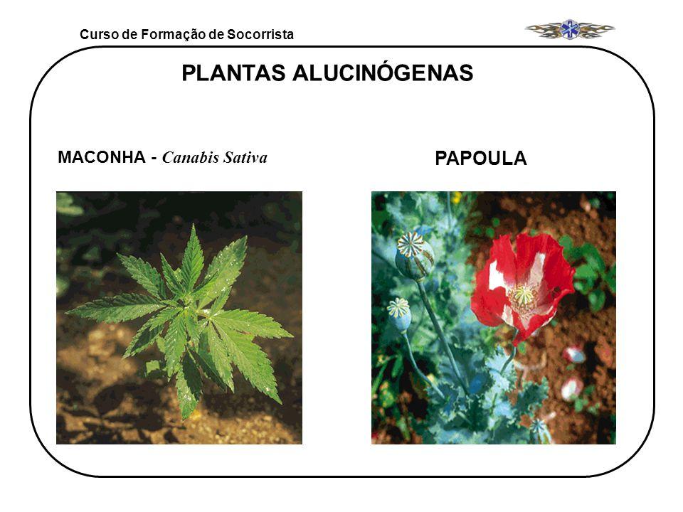 PLANTAS ALUCINÓGENAS PAPOULA MACONHA - Canabis Sativa