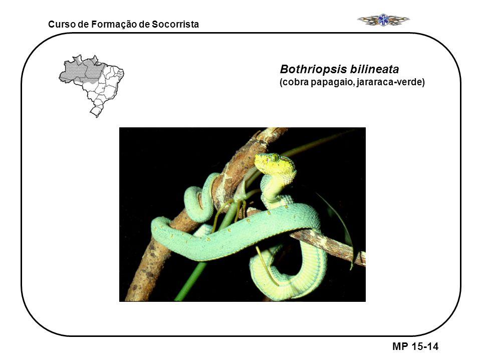 Bothriopsis bilineata