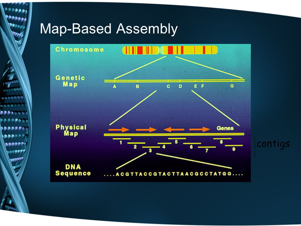 Map-Based Assembly contigs