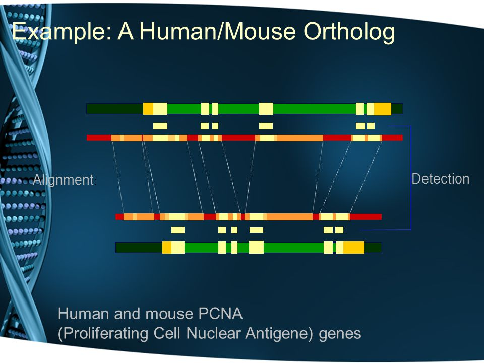 Example: A Human/Mouse Ortholog