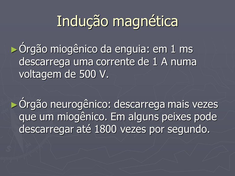Indução magnética Órgão miogênico da enguia: em 1 ms descarrega uma corrente de 1 A numa voltagem de 500 V.