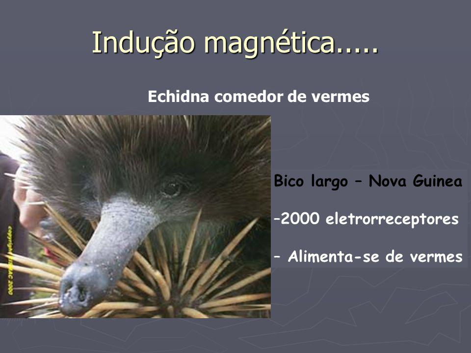Indução magnética..... Echidna comedor de vermes