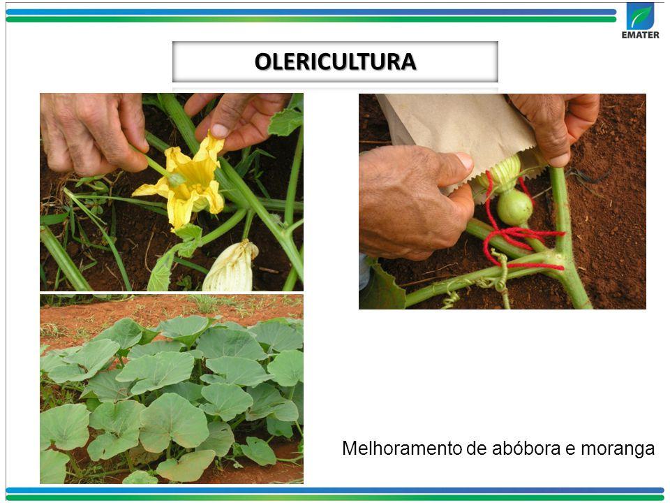 OLERICULTURA Melhoramento de abóbora e moranga