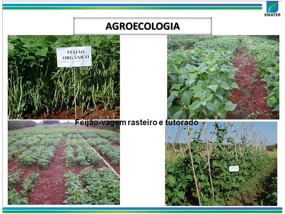 AGROECOLOGIA Feijão-vagem rasteiro e tutorado