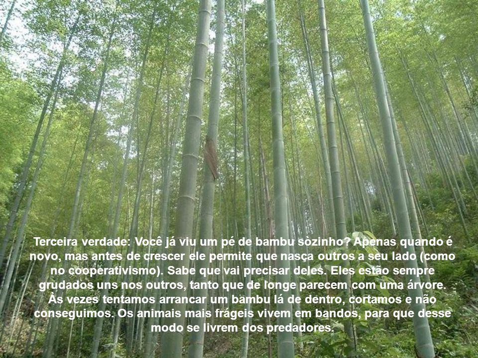 Terceira verdade: Você já viu um pé de bambu sòzinho