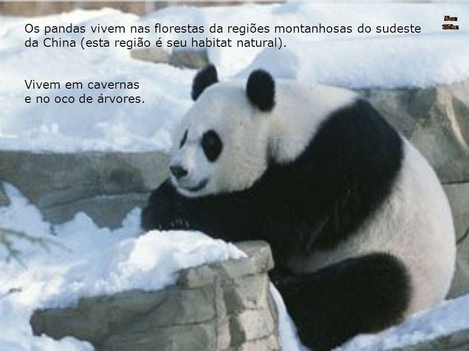 Os pandas vivem nas florestas da regiões montanhosas do sudeste