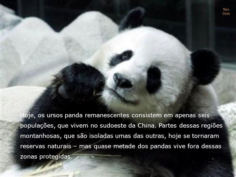 Hoje, os ursos panda remanescentes consistem em apenas seis