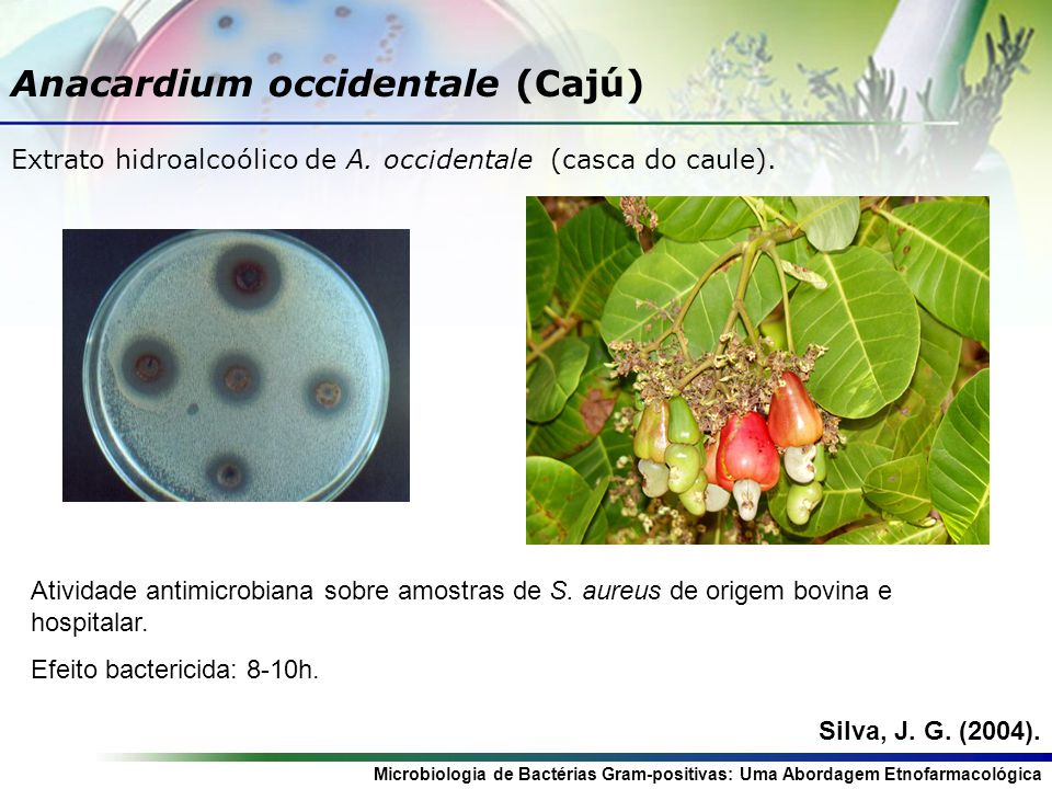 Anacardium occidentale (Cajú)