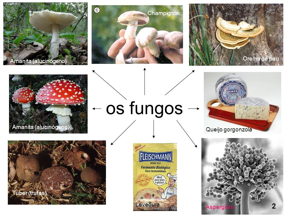 os fungos 2 Champignon Orelha de pau Amanita (alucinógeno)
