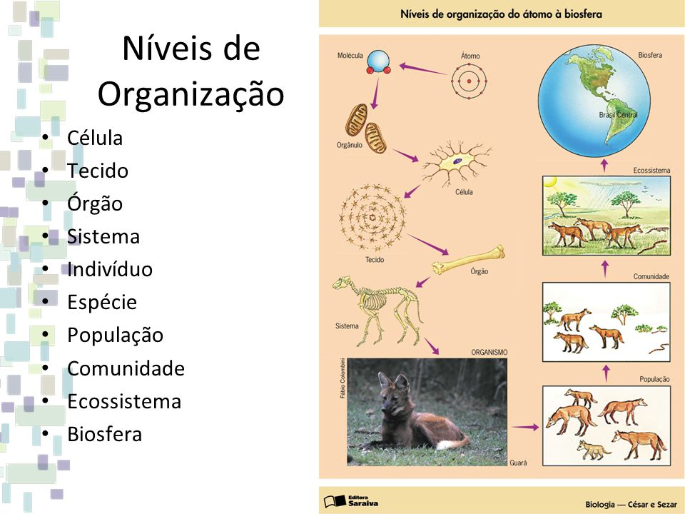 Níveis de Organização Célula Tecido Órgão Sistema Indivíduo Espécie