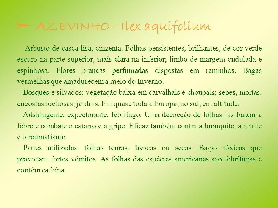  AZEVINHO - Ilex aquifolium