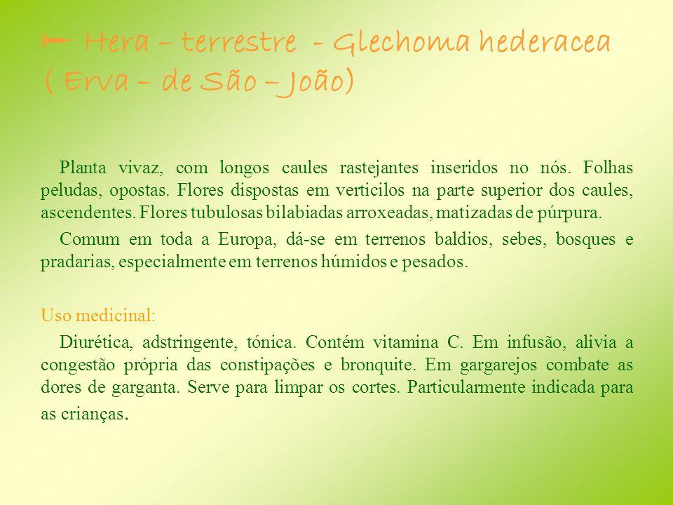  Hera – terrestre - Glechoma hederacea ( Erva – de São – João)