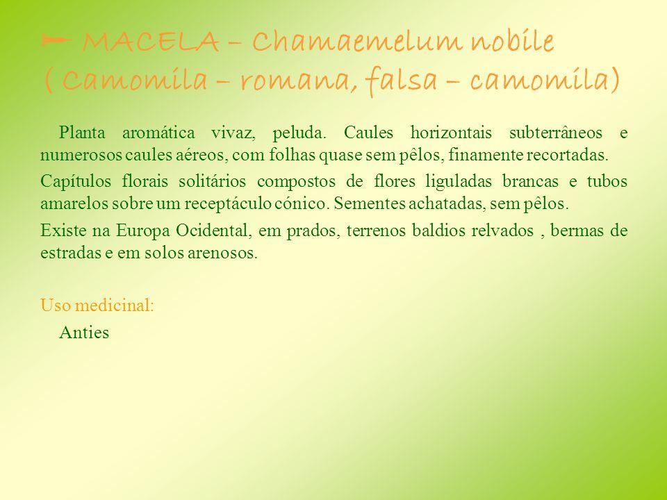  MACELA – Chamaemelum nobile ( Camomila – romana, falsa – camomila)