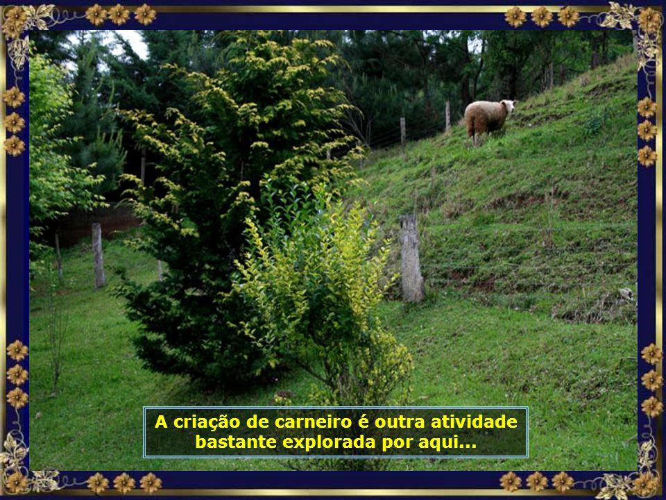 A criação de carneiro é outra atividade bastante explorada por aqui...