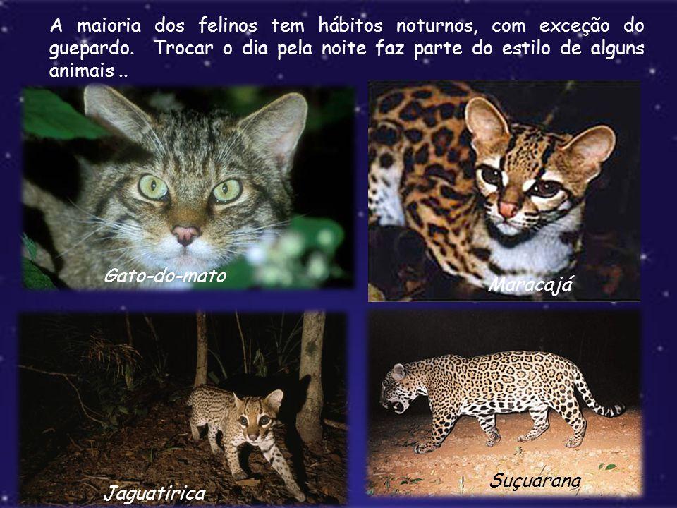 A maioria dos felinos tem hábitos noturnos, com exceção do guepardo