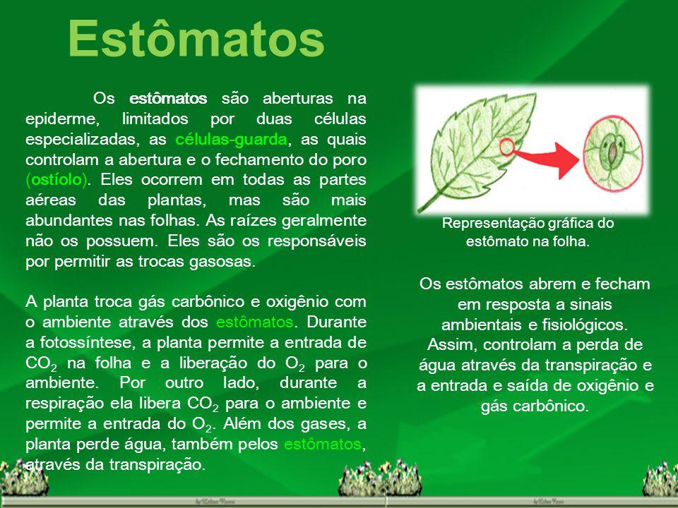 Representação gráfica do estômato na folha.