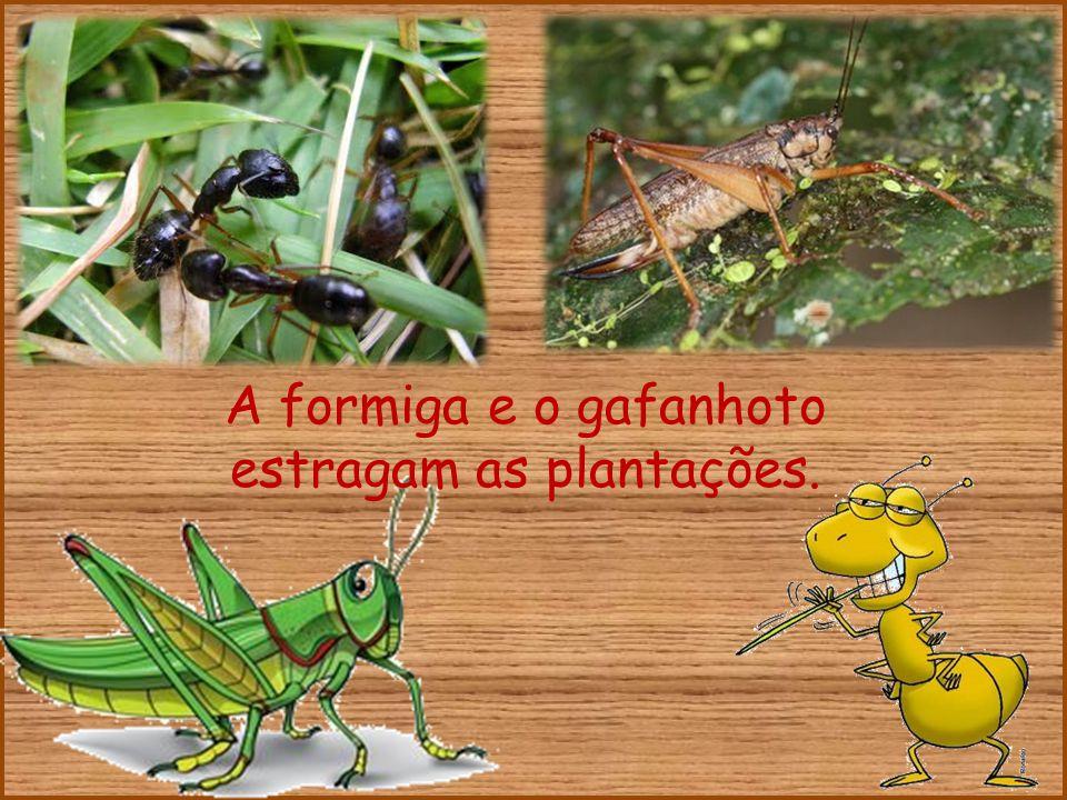 A formiga e o gafanhoto estragam as plantações.