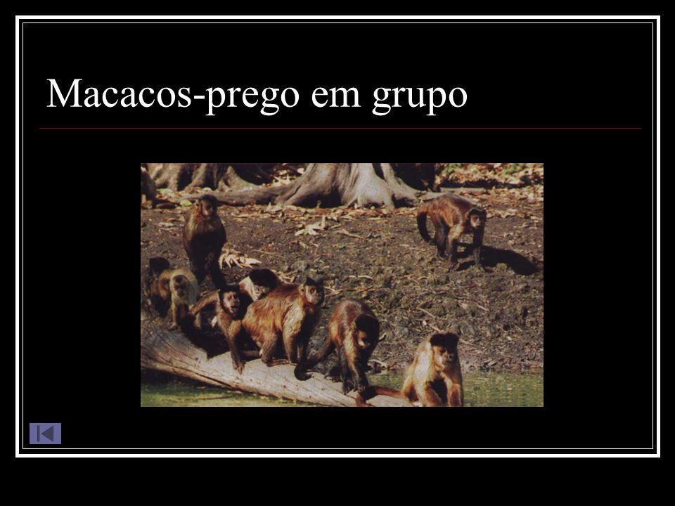 Macacos-prego em grupo