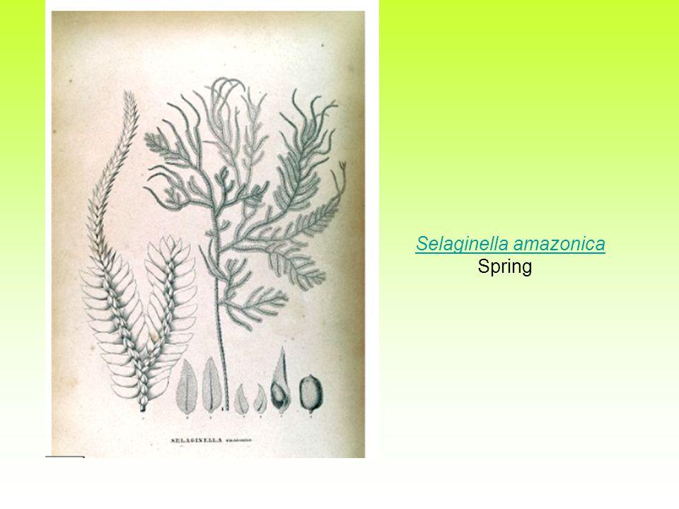 Selaginella amazonica Spring