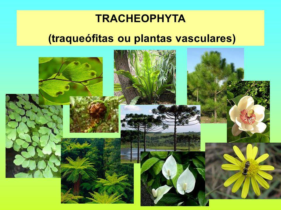 (traqueófitas ou plantas vasculares)