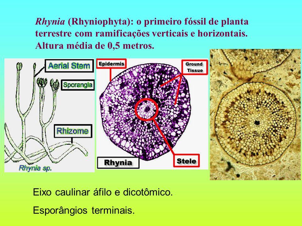 Rhynia (Rhyniophyta): o primeiro fóssil de planta terrestre com ramificações verticais e horizontais.