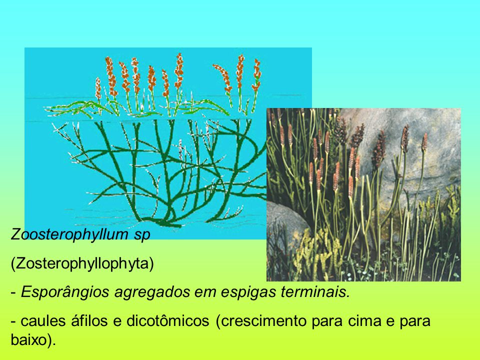 Zoosterophyllum sp (Zosterophyllophyta) Esporângios agregados em espigas terminais.